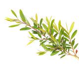 Tea Tree tak